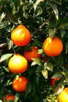 尾道しまなみ柑橘シャーベットセット
